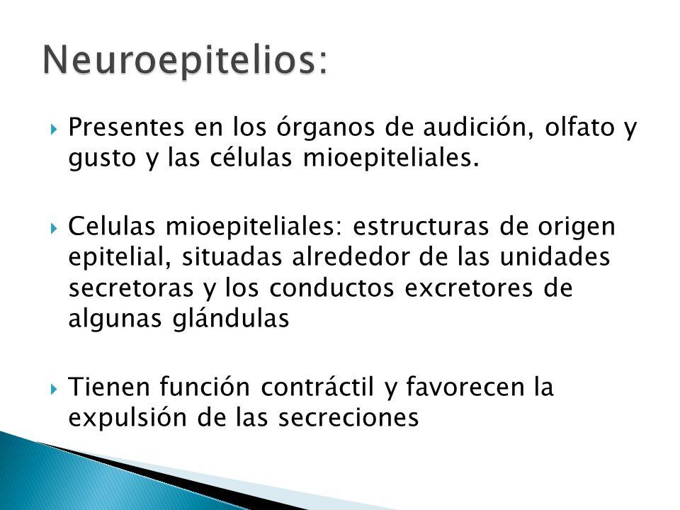 Neuroepitelios: Presentes en los órganos de audición, olfato y gusto y las células mioepiteliales.