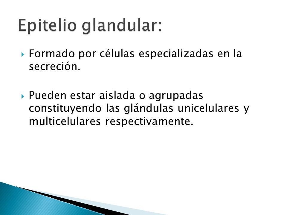 Epitelio glandular: Formado por células especializadas en la secreción.