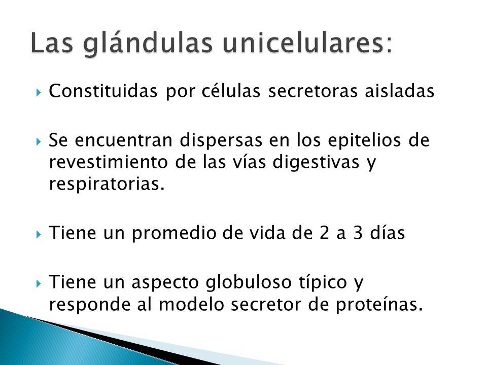 Las glándulas unicelulares: