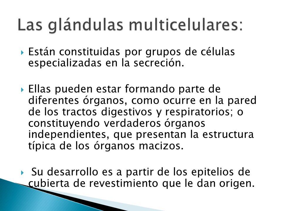 Las glándulas multicelulares: