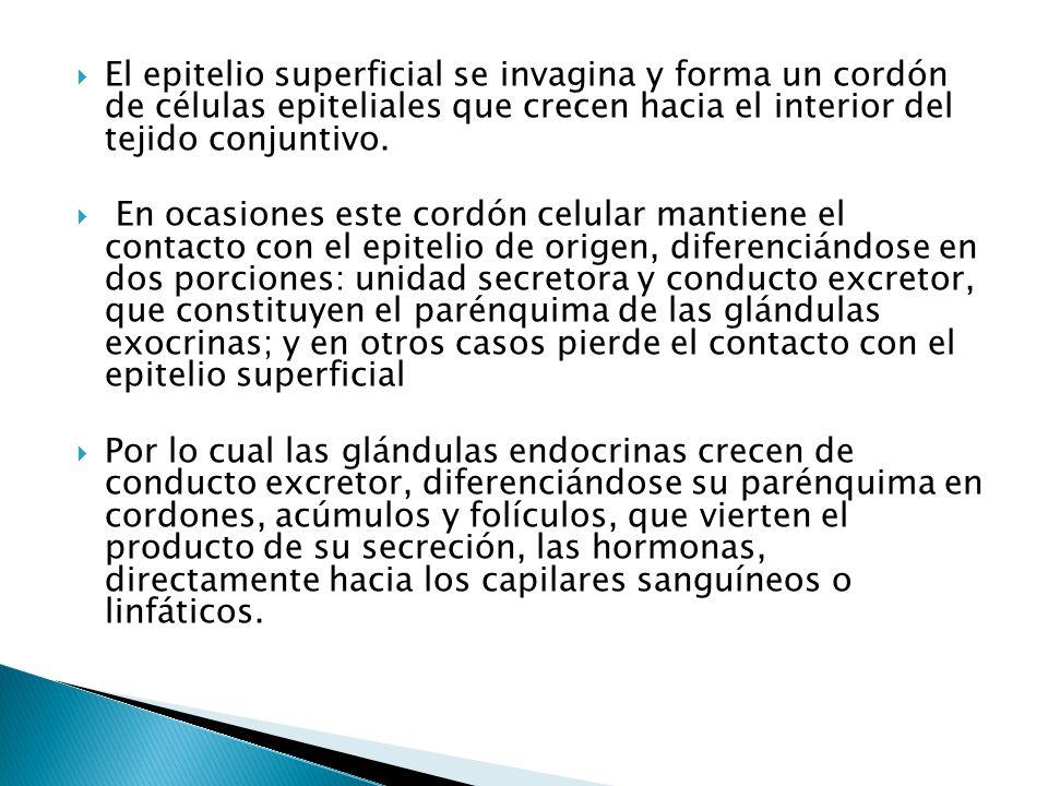 El epitelio superficial se invagina y forma un cordón de células epiteliales que crecen hacia el interior del tejido conjuntivo.