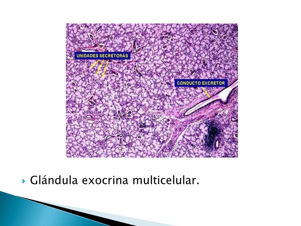 Glándula exocrina multicelular.