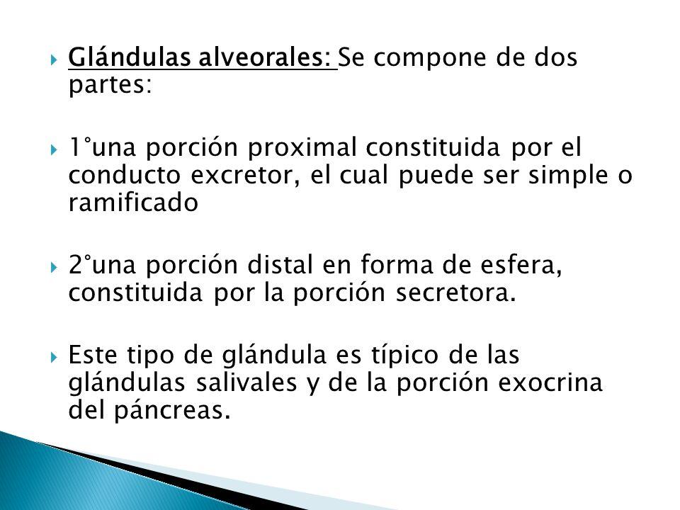 Glándulas alveorales: Se compone de dos partes: