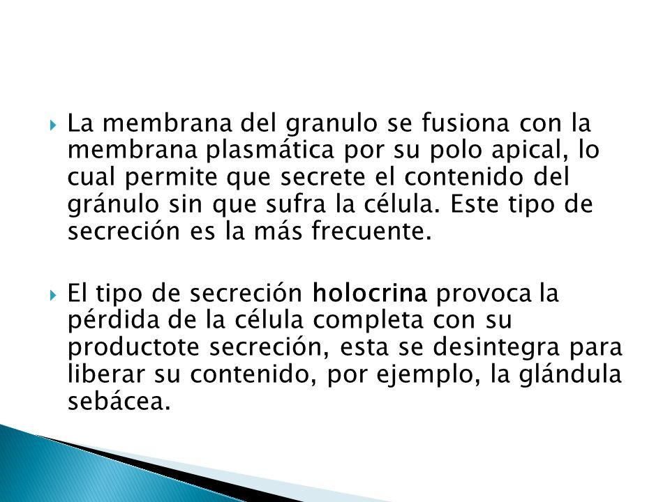 La membrana del granulo se fusiona con la membrana plasmática por su polo apical, lo cual permite que secrete el contenido del gránulo sin que sufra la célula. Este tipo de secreción es la más frecuente.