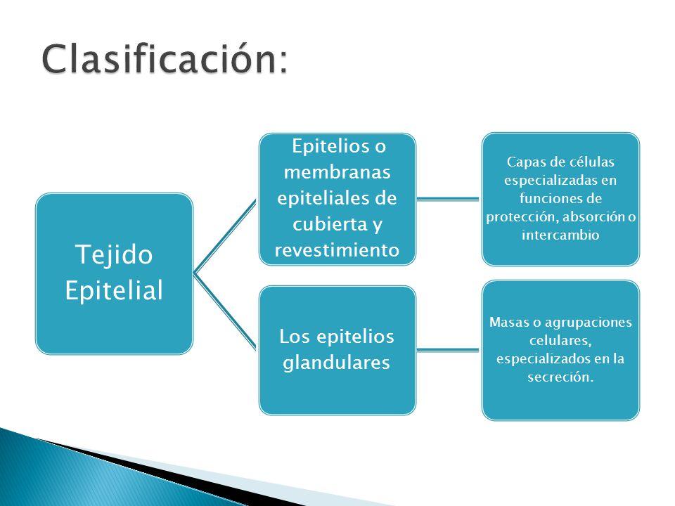 Clasificación: Tejido Epitelial Los epitelios glandulares