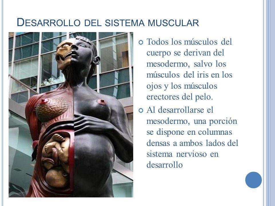 Desarrollo del sistema muscular