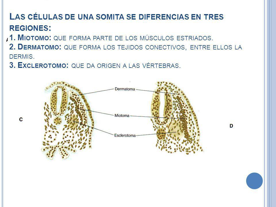 Las células de una somita se diferencias en tres regiones: 1