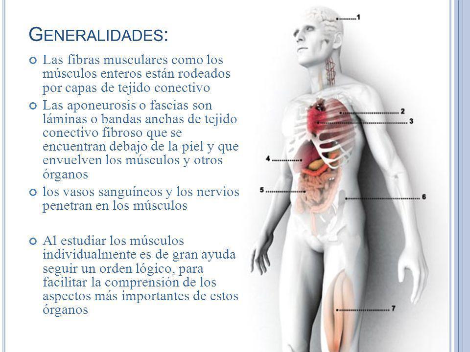 Generalidades: Las fibras musculares como los músculos enteros están rodeados por capas de tejido conectivo.