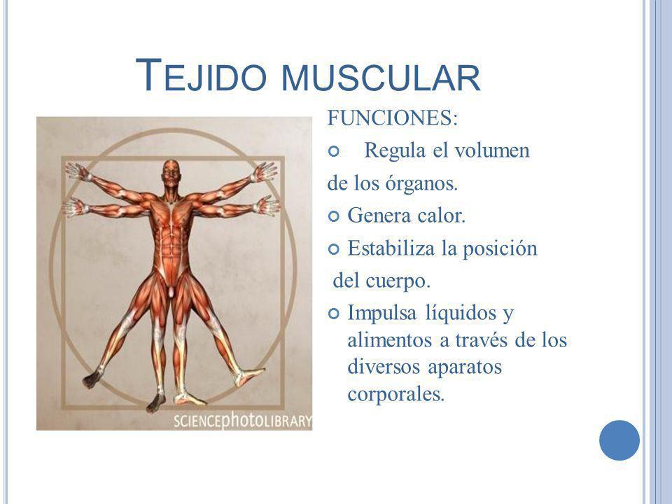 Tejido muscular FUNCIONES: Regula el volumen de los órganos.