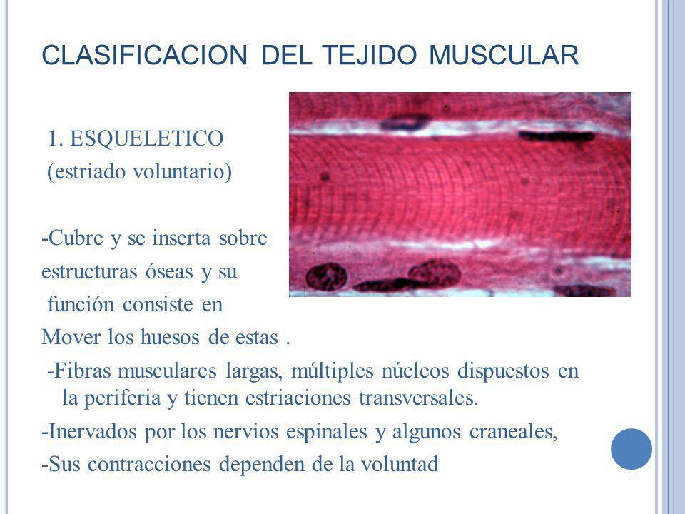clasificacion del tejido muscular
