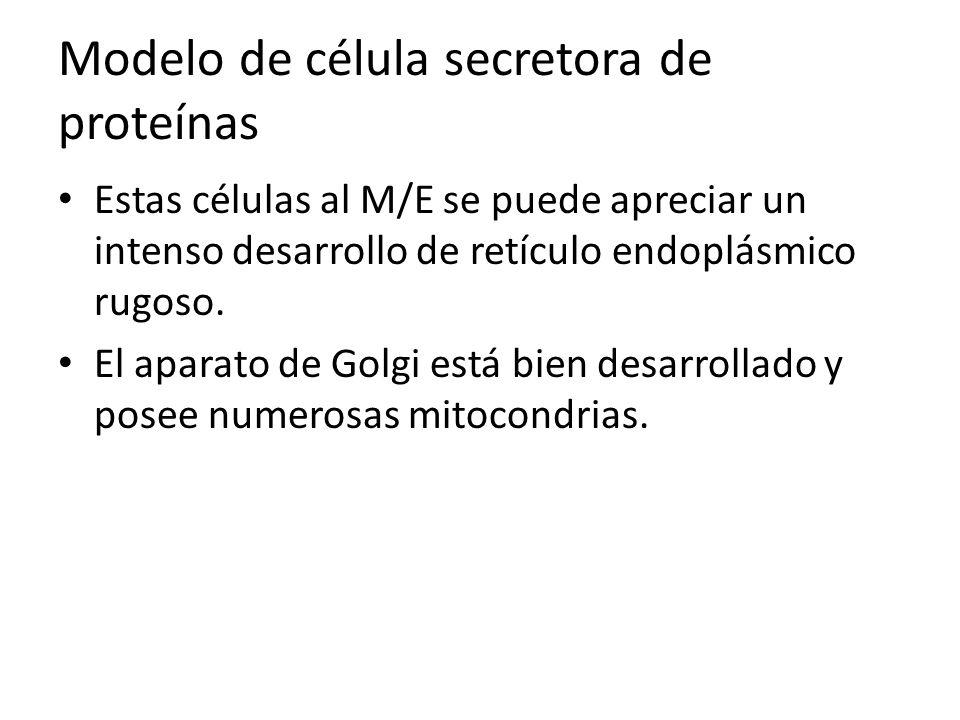 Modelo de célula secretora de proteínas