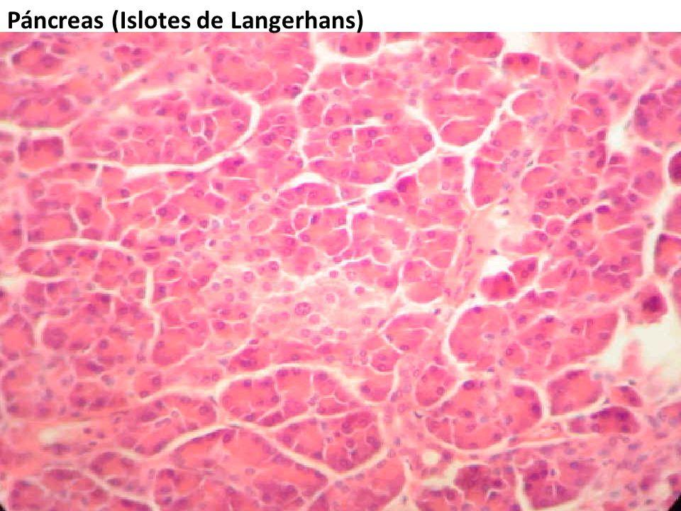 Páncreas (Islotes de Langerhans)