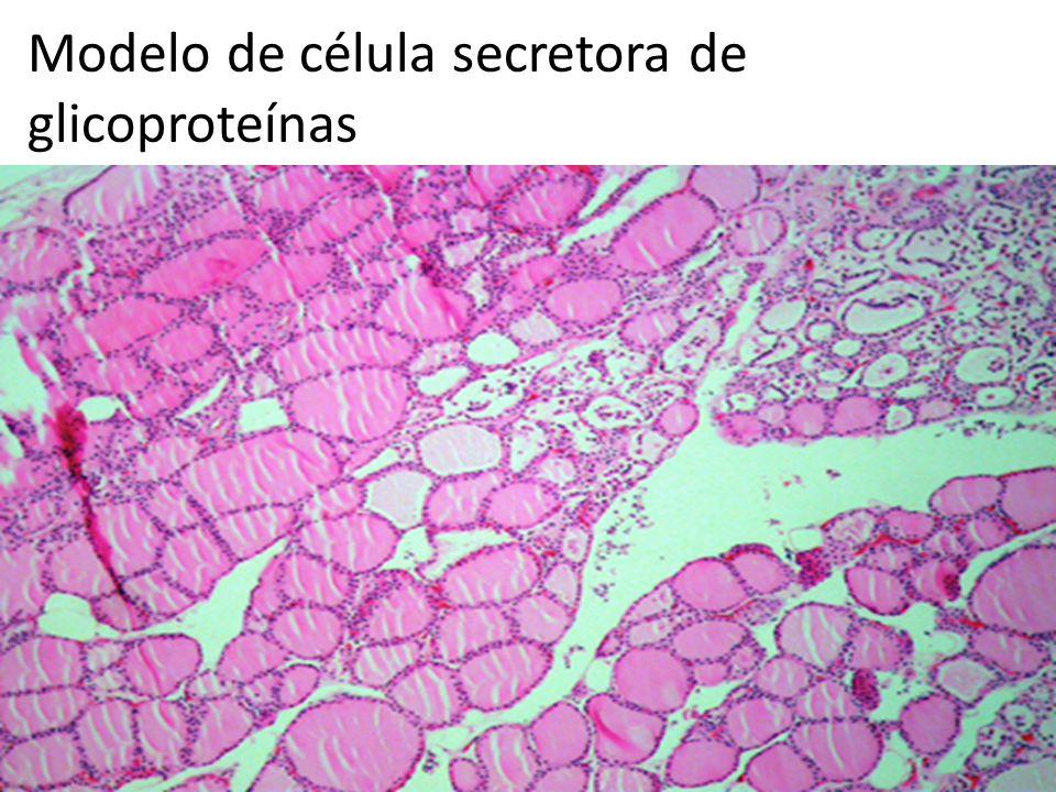 Modelo de célula secretora de glicoproteínas