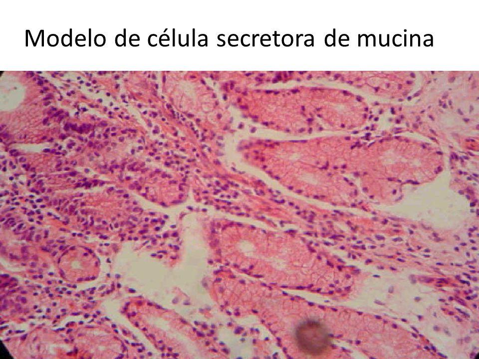 Modelo de célula secretora de mucina