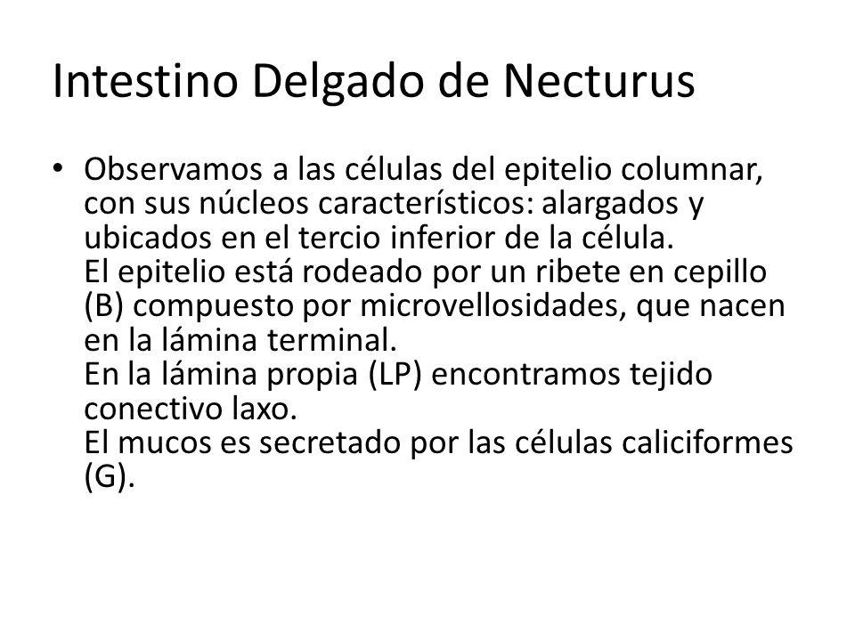Intestino Delgado de Necturus