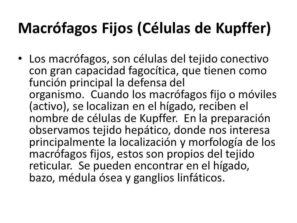 Macrófagos Fijos (Células de Kupffer)