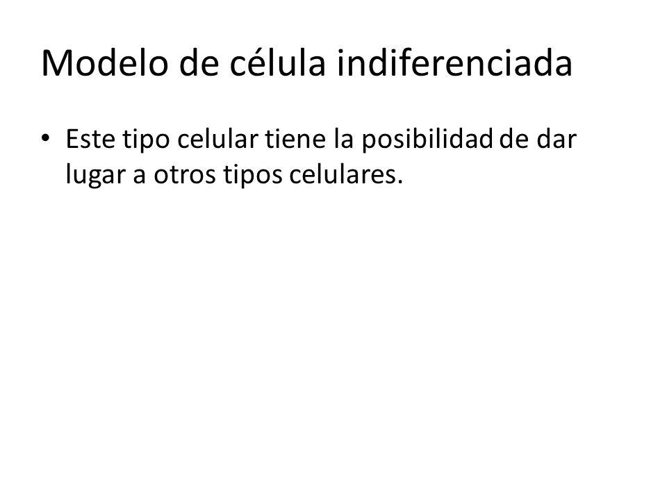 Modelo de célula indiferenciada