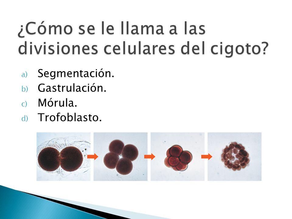 ¿Cómo se le llama a las divisiones celulares del cigoto