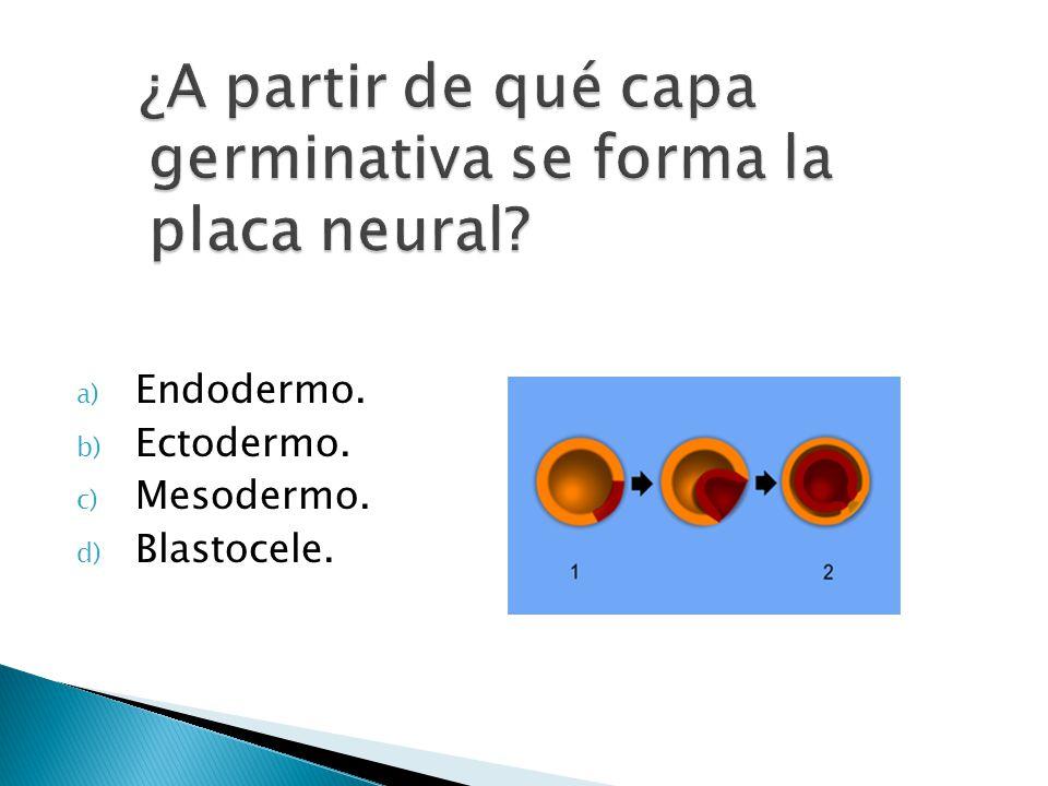 ¿A partir de qué capa germinativa se forma la placa neural