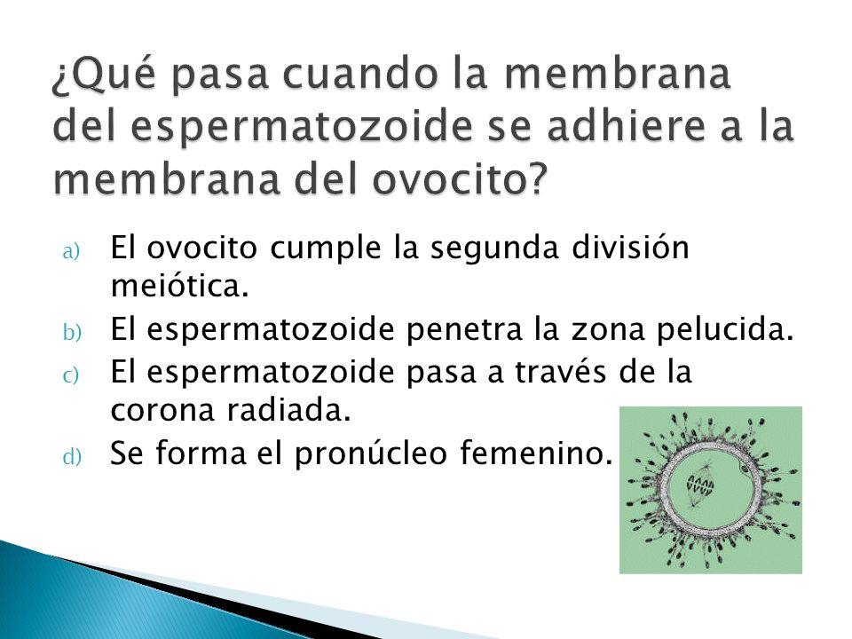 ¿Qué pasa cuando la membrana del espermatozoide se adhiere a la membrana del ovocito
