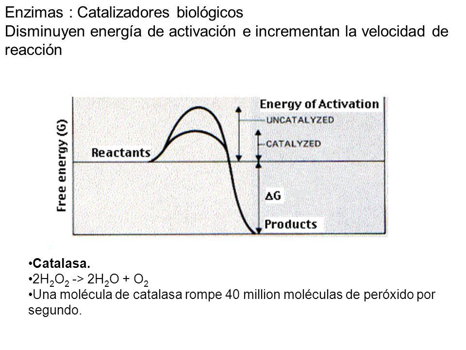 Enzimas : Catalizadores biológicos