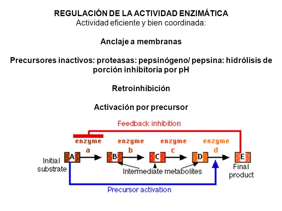 REGULACIÓN DE LA ACTIVIDAD ENZIMÁTICA Activación por precursor