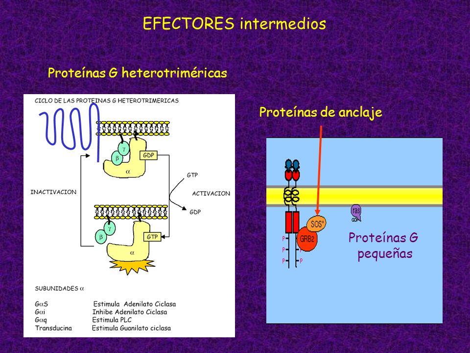 EFECTORES intermedios