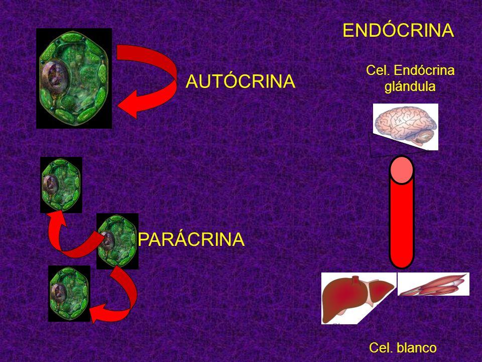 Cel. Endócrina glándula Cel. blanco ENDÓCRINA AUTÓCRINA PARÁCRINA