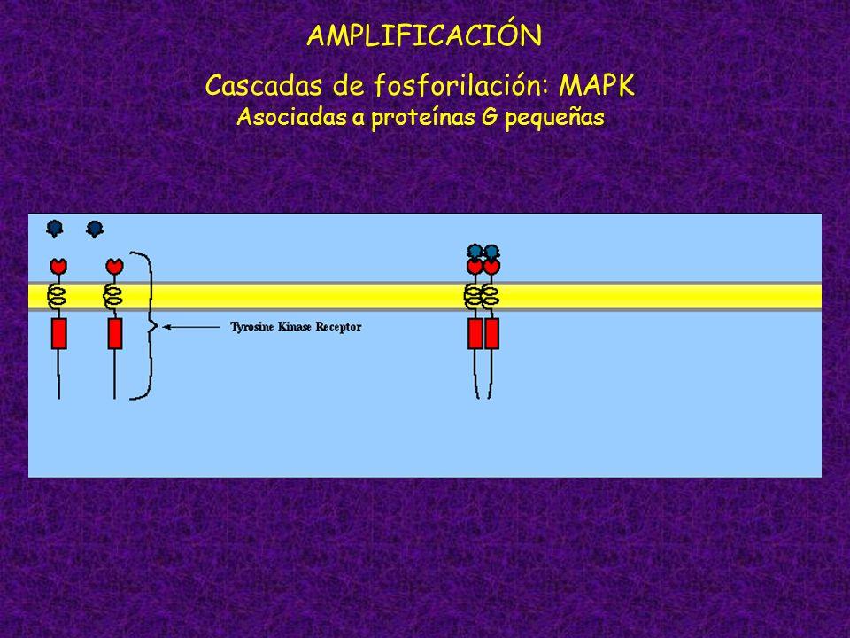 Cascadas de fosforilación: MAPK