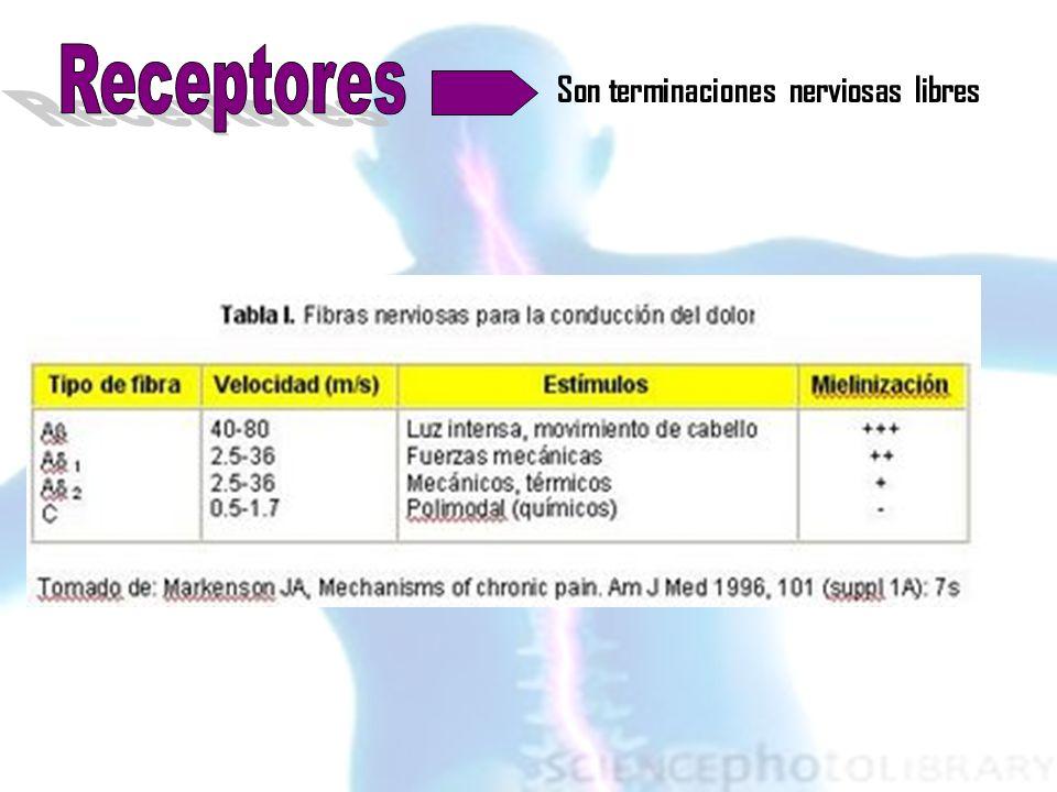 Receptores Son terminaciones nerviosas libres