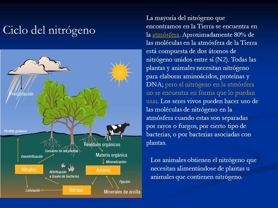 La mayoría del nitrógeno que encontramos en la Tierra se encuentra en la atmósfera. Aproximadamente 80% de las moléculas en la atmósfera de la Tierra está compuesta de dos átomos de nitrógeno unidos entre sí (N2). Todas las plantas y animales necesitan nitrógeno para elaborar aminoácidos, proteínas y DNA; pero el nitrógeno en la atmósfera no se encuentra en forma que lo puedan usar. Los seres vivos pueden hacer uso de las moléculas de nitrógeno en la atmósfera cuando estas son separadas por rayos o fuegos, por cierto tipo de bacterias, o por bacterias asociadas con plantas.