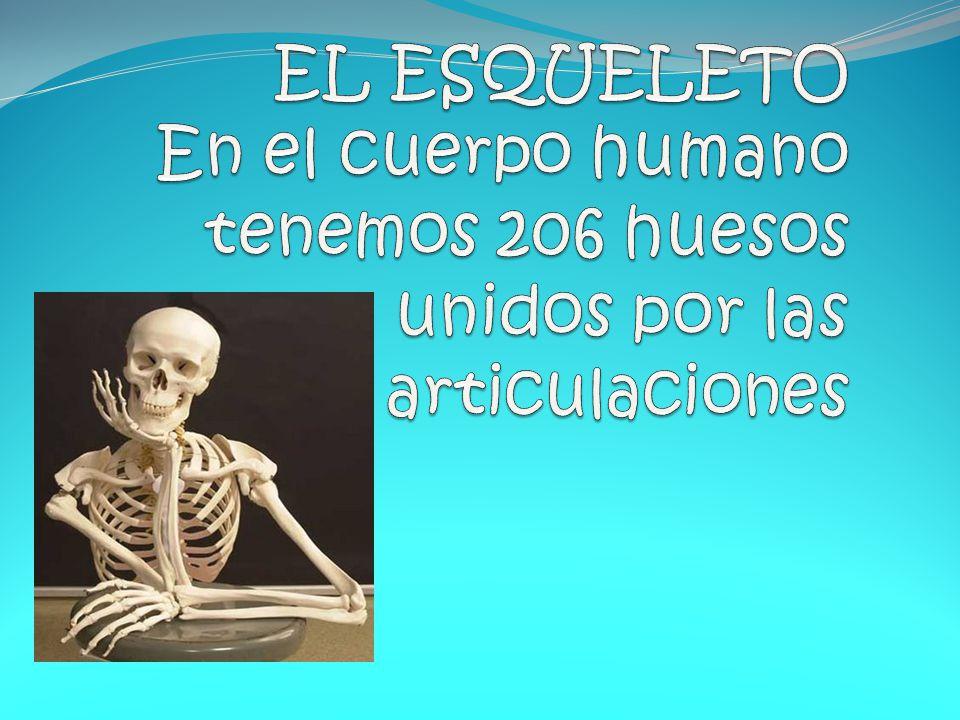 EL ESQUELETO En el cuerpo humano tenemos 206 huesos unidos por las articulaciones