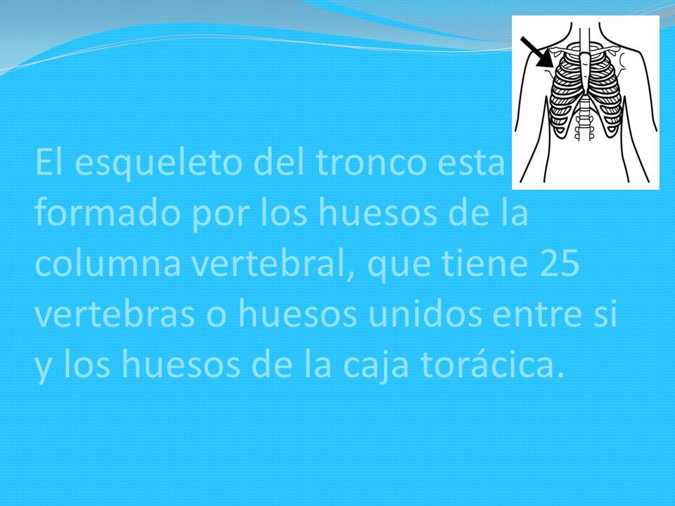El esqueleto del tronco esta formado por los huesos de la columna vertebral, que tiene 25 vertebras o huesos unidos entre si y los huesos de la caja torácica.