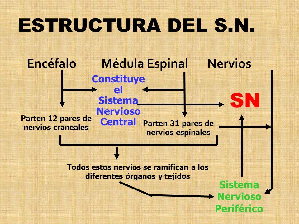 SN ESTRUCTURA DEL S.N. Encéfalo Médula Espinal Nervios Constituye