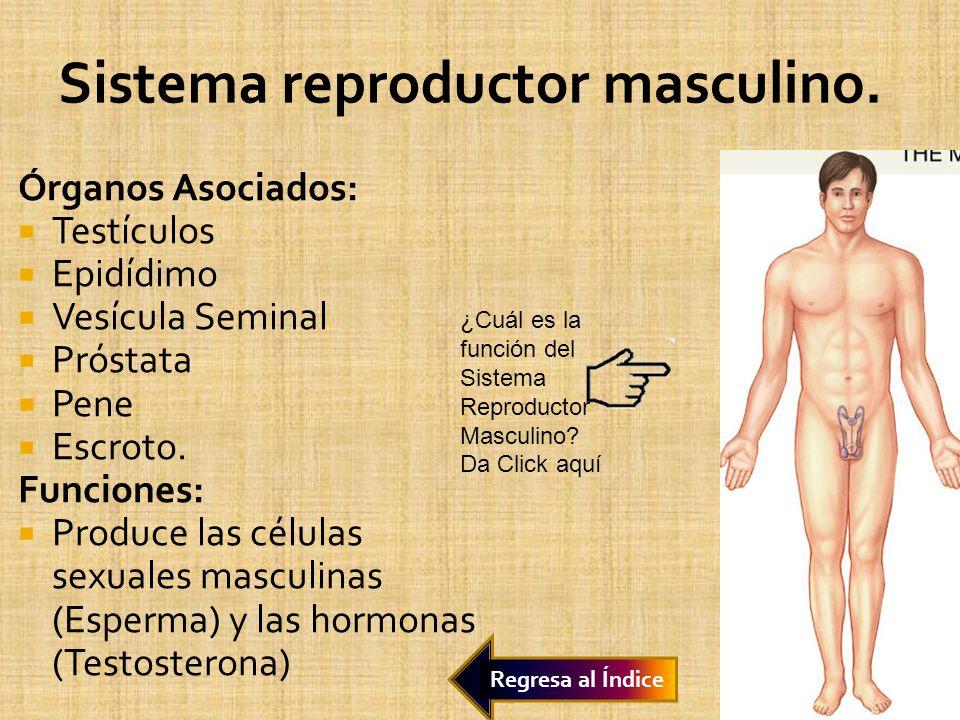 Sistema reproductor masculino.