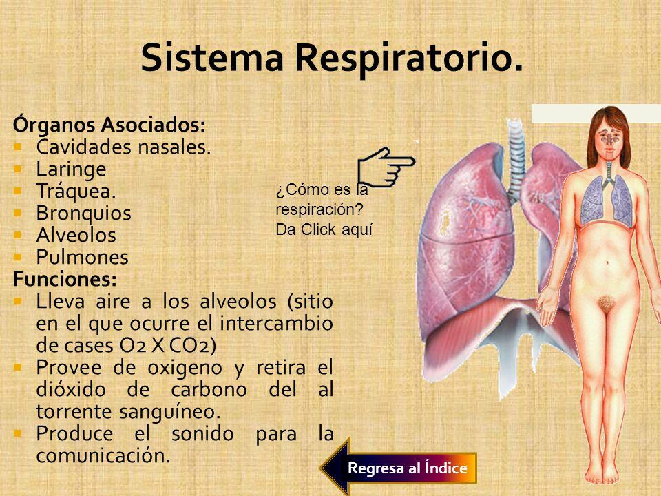 Sistema Respiratorio. Órganos Asociados: Cavidades nasales. Laringe