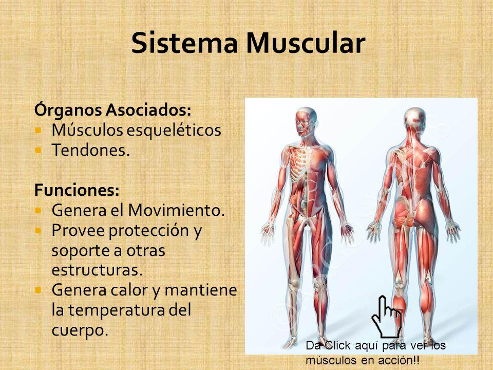 Sistema Muscular Órganos Asociados: Músculos esqueléticos Tendones.