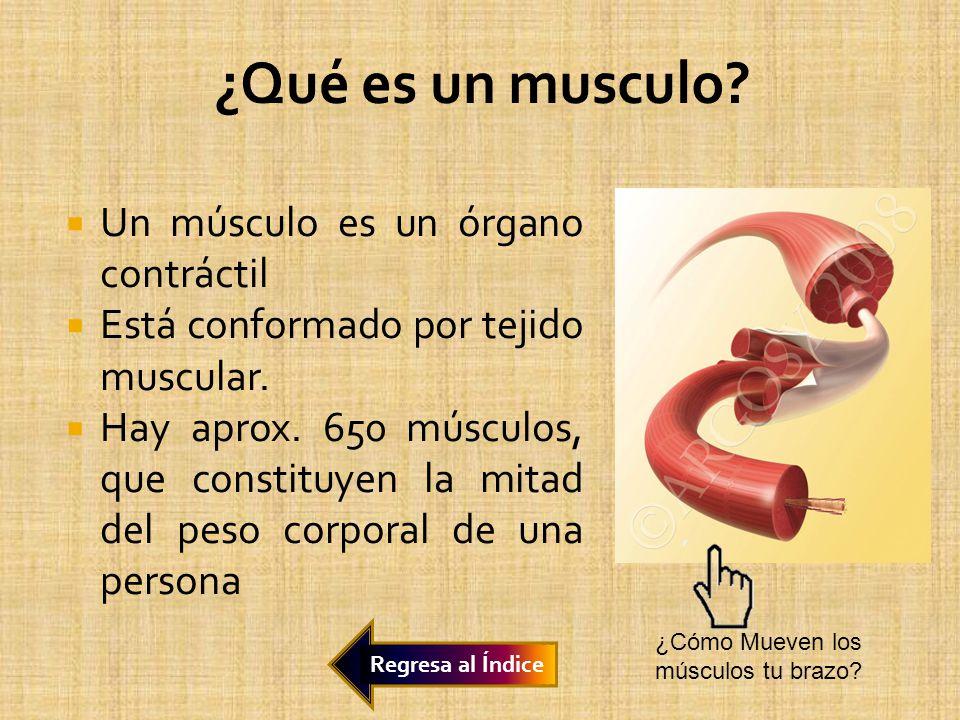 ¿Qué es un musculo Un músculo es un órgano contráctil