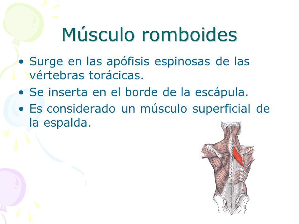 Músculo romboides Surge en las apófisis espinosas de las vértebras torácicas. Se inserta en el borde de la escápula.