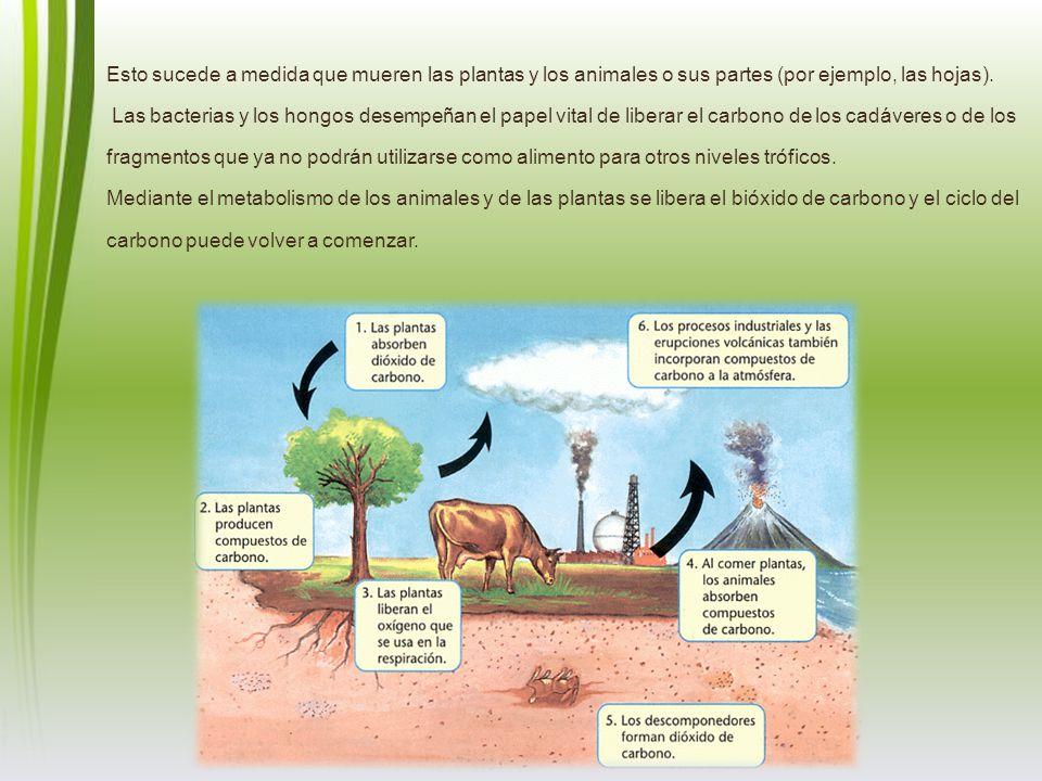 Esto sucede a medida que mueren las plantas y los animales o sus partes (por ejemplo, las hojas).