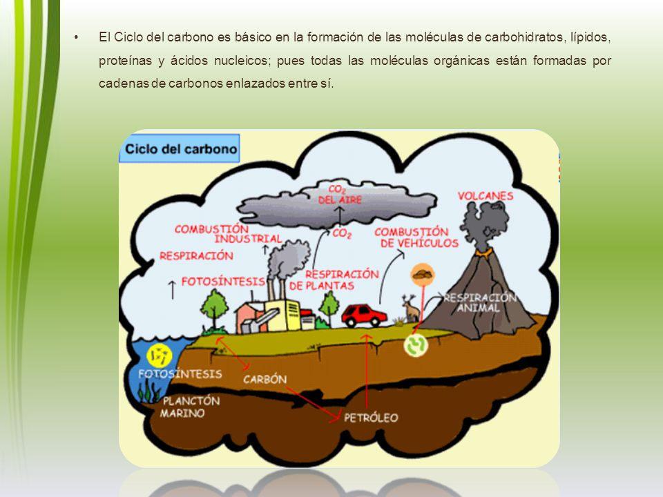 El Ciclo del carbono es básico en la formación de las moléculas de carbohidratos, lípidos, proteínas y ácidos nucleicos; pues todas las moléculas orgánicas están formadas por cadenas de carbonos enlazados entre sí.