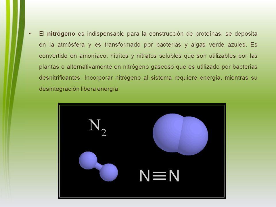 El nitrógeno es indispensable para la construcción de proteínas, se deposita en la atmósfera y es transformado por bacterias y algas verde azules.