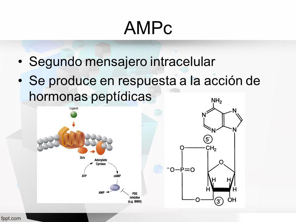 AMPc Segundo mensajero intracelular