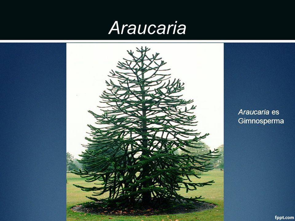Araucaria Araucaria es Gimnosperma