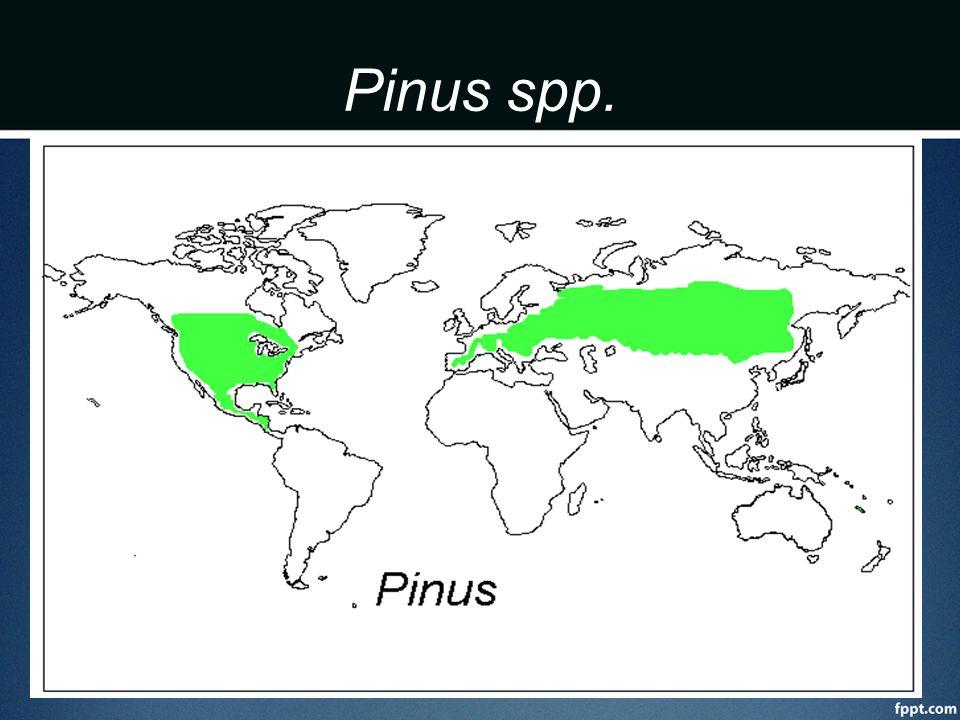 Pinus spp. Llega hasta Nicaragua, norte de filipinas. Caribea