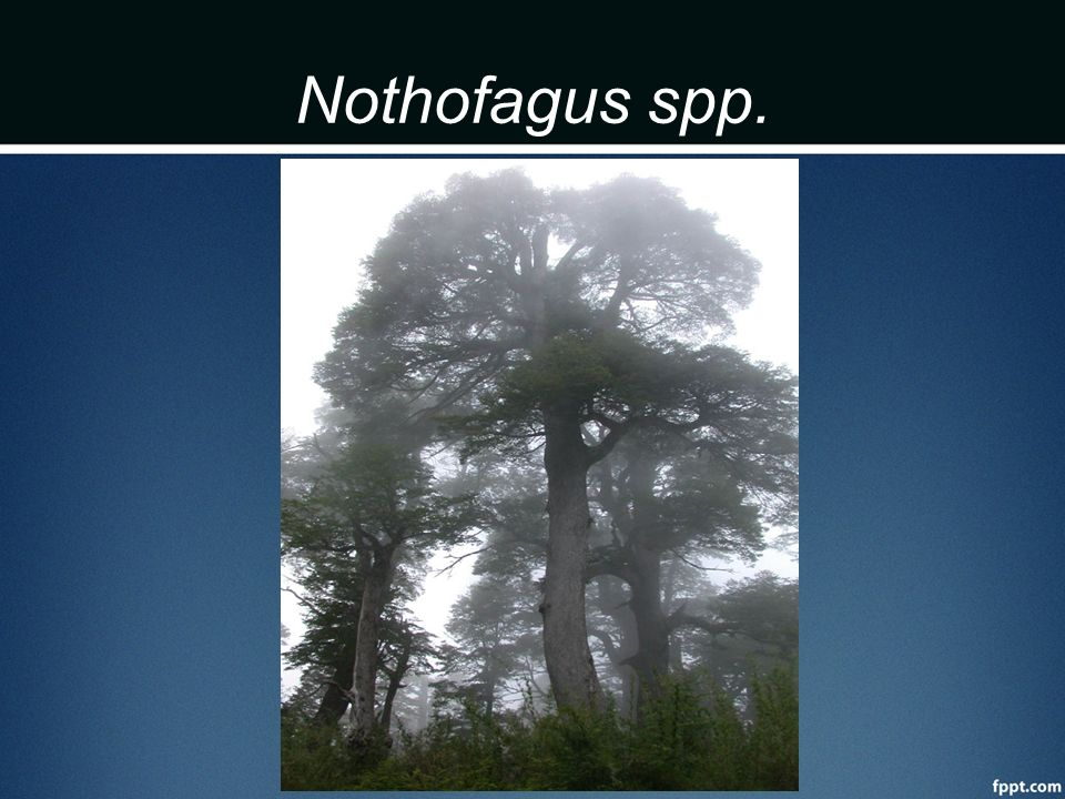 Nothofagus spp.