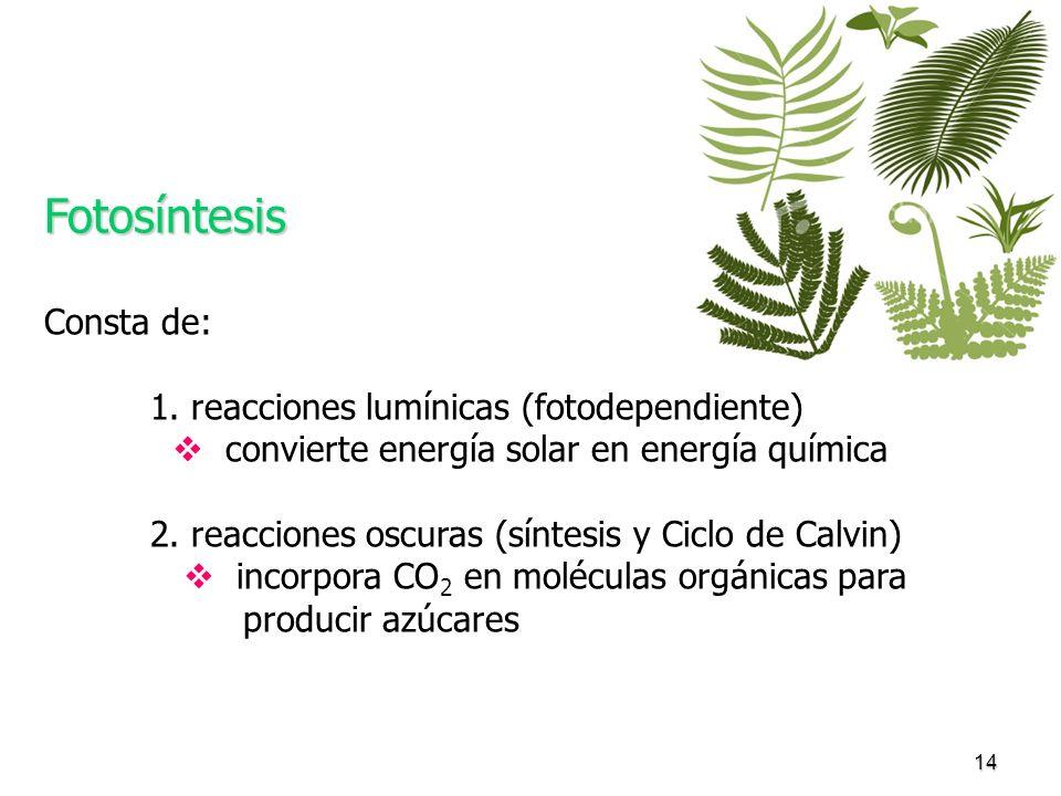 Fotosíntesis Consta de: 1. reacciones lumínicas (fotodependiente)