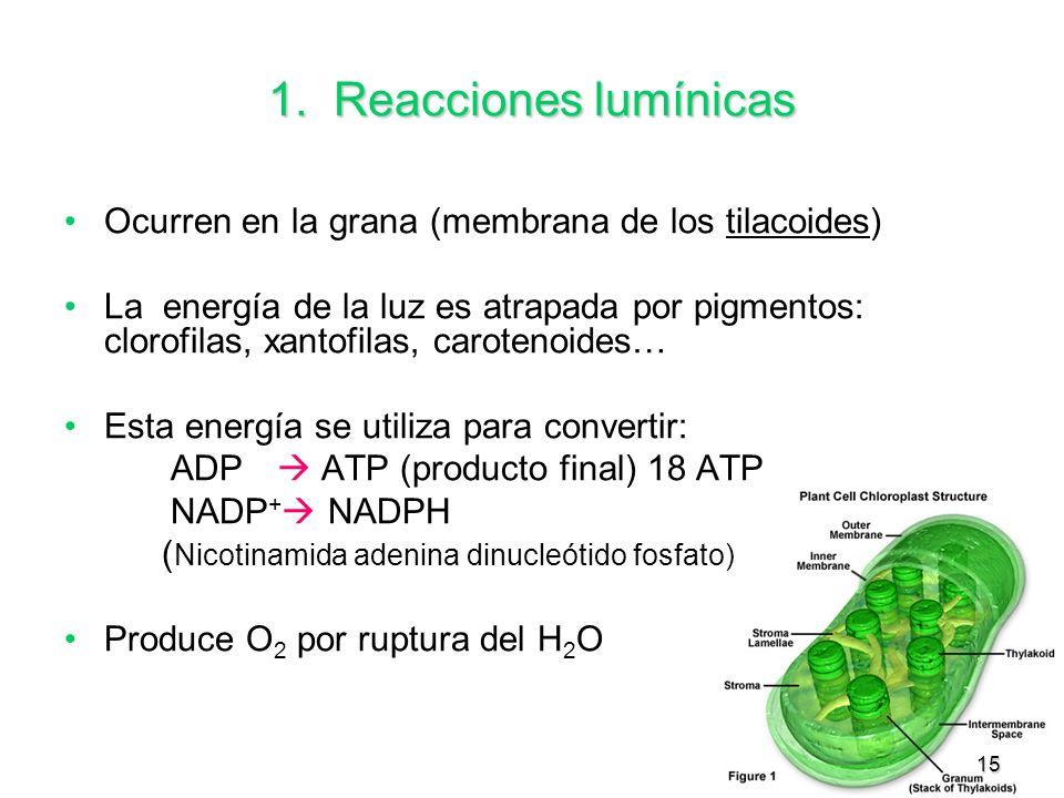 1. Reacciones lumínicas Ocurren en la grana (membrana de los tilacoides)
