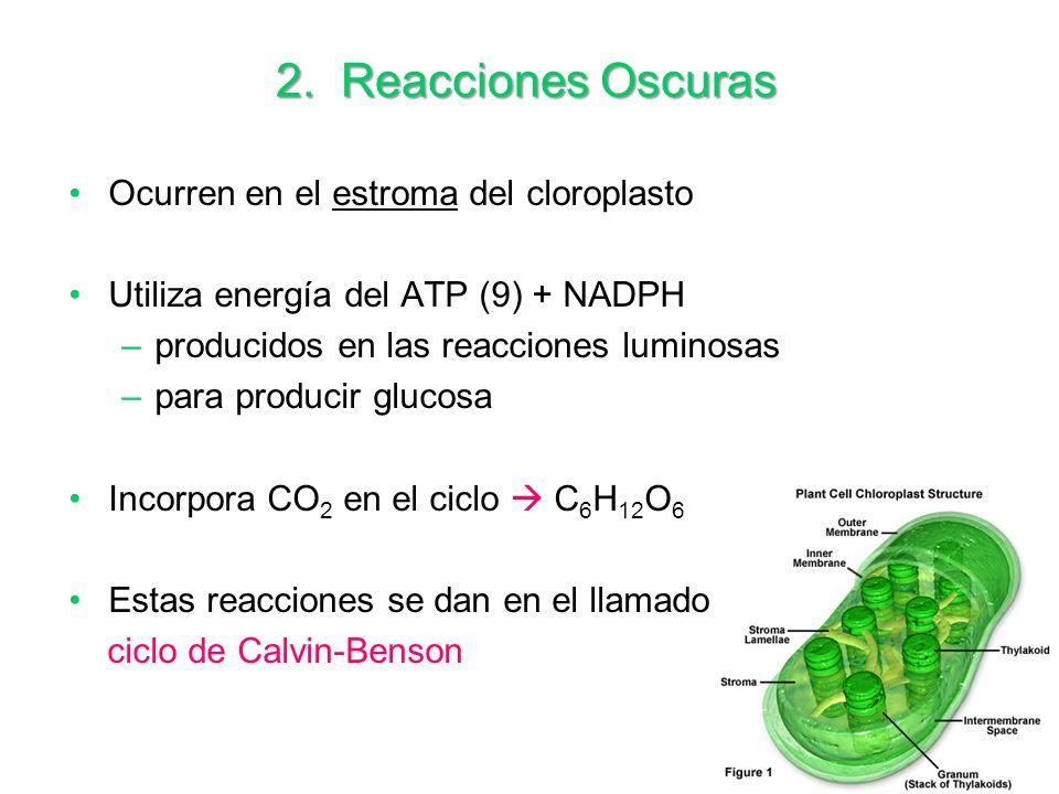 2. Reacciones Oscuras Ocurren en el estroma del cloroplasto