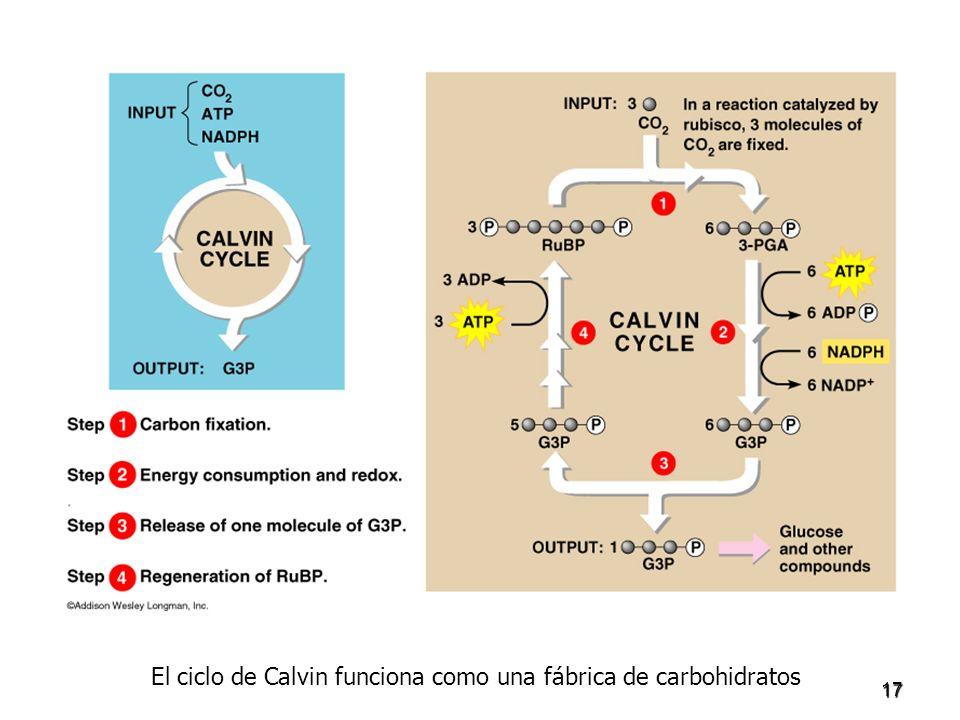El ciclo de Calvin funciona como una fábrica de carbohidratos